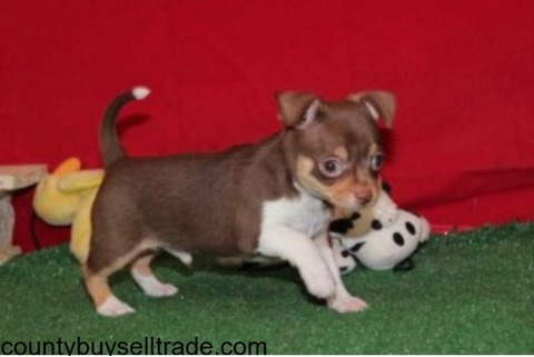 cute and adorable chihuahua puppies foradoption.